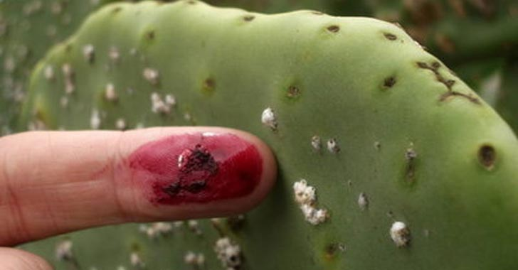 cochineal insects squashed