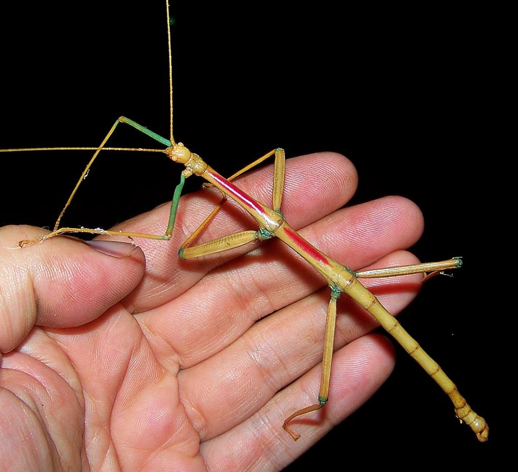 Giant Stick Bug