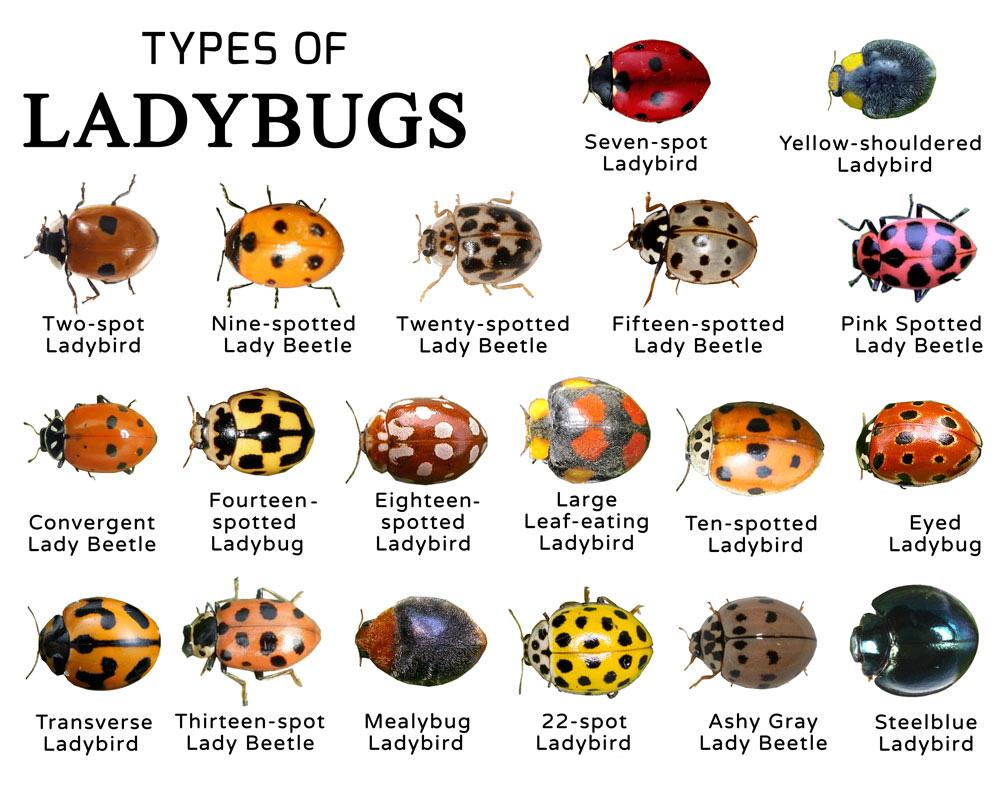 Types-of-Ladybugs