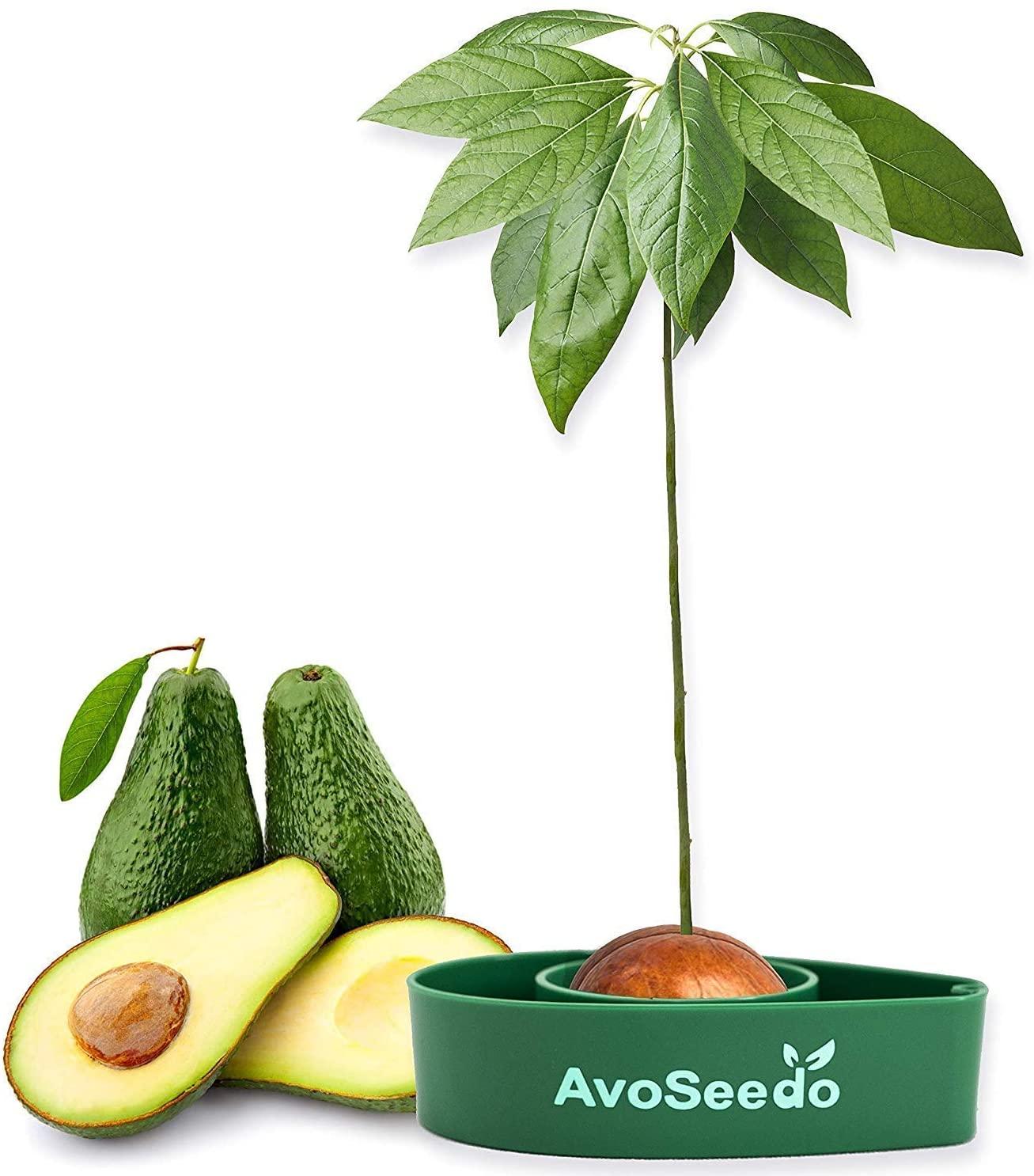 Fun Avocado Tree Growing Kit
