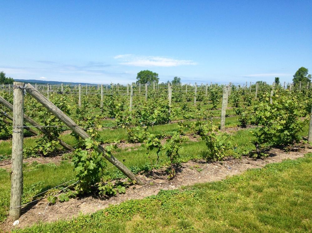 Madonnas-dads-vineyard
