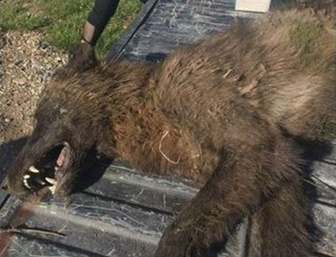 A-Werewolf-In-Montana