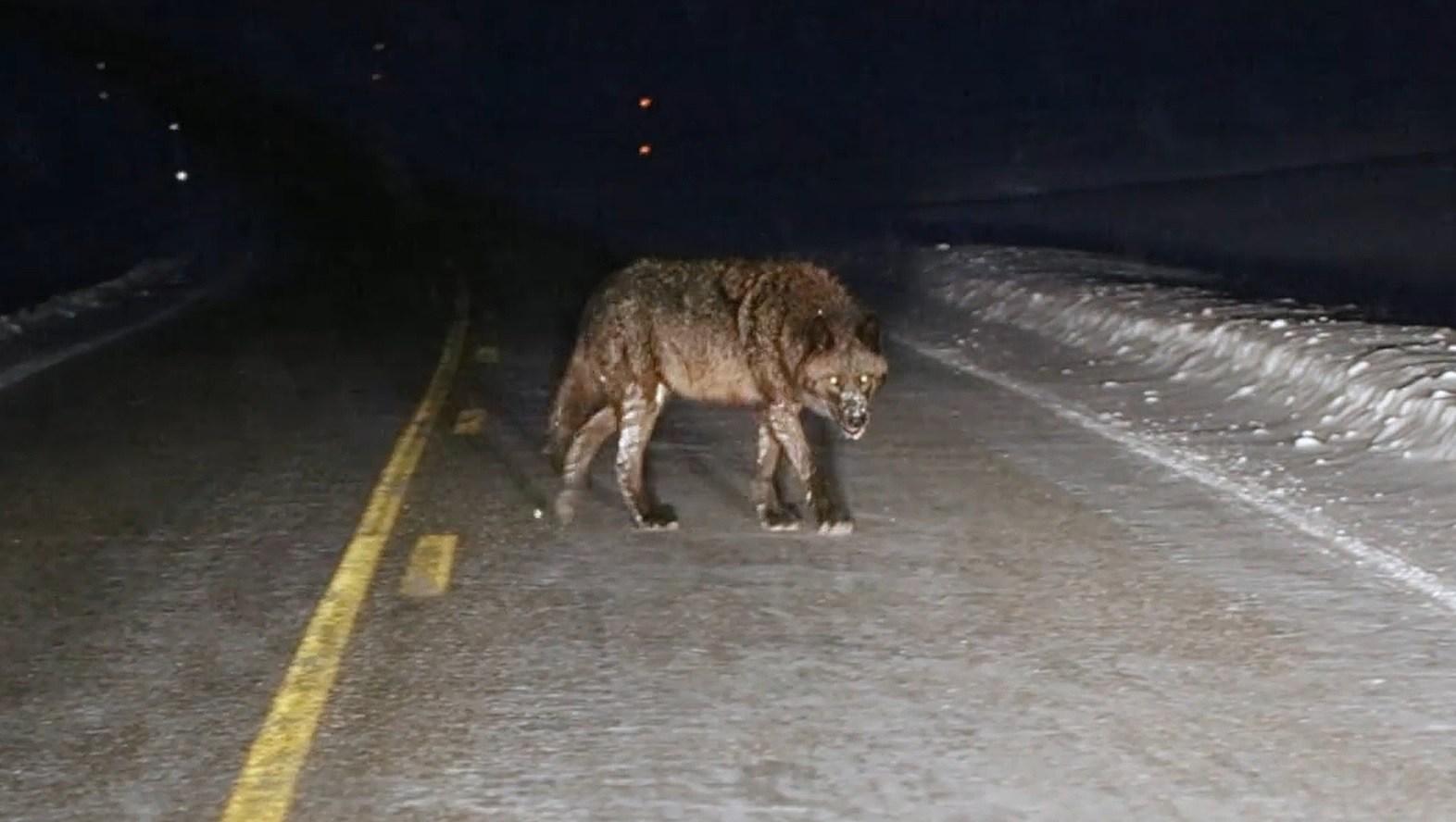 A-Werewolf-In-Wyoming